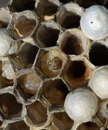 The larvae in honeycombs hornets nest. Wasps polist. The nest of a family of wasps which is taken a close-up.