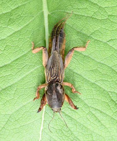 Gryllotalpa gryllotalpa On a piece of grass. Pest of garden plantations Stockfoto