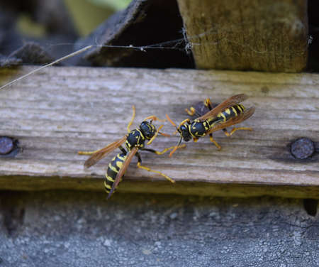 Two wasps polists sit opposite each other in a shed