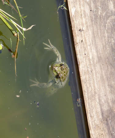 Frog in the water. An overgrown pond with a frog