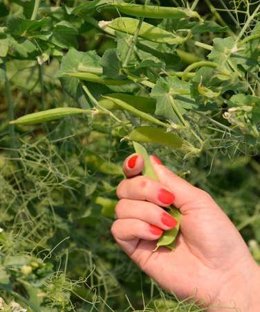 Green peas. Pods of peas. Pea field Stockfoto