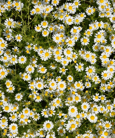 Chamomile flowers. Pharmaceutical camomile. Medicinal plant chamomile lowering Foto de archivo