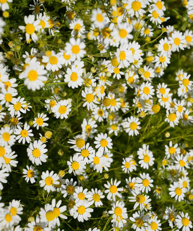 Chamomile flowers. Pharmaceutical camomile. Medicinal plant chamomile lowering