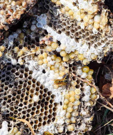 Vespula vulgaris. Destroyed hornet's nest. Drawn on the surface of a honeycomb hornet's nest. Larvae and pupae of wasps. Stock Photo