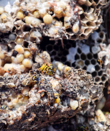 Vespula vulgaris. Destroyed hornets nest. Drawn on the surface of a honeycomb hornets nest. Larvae and pupae of wasps.