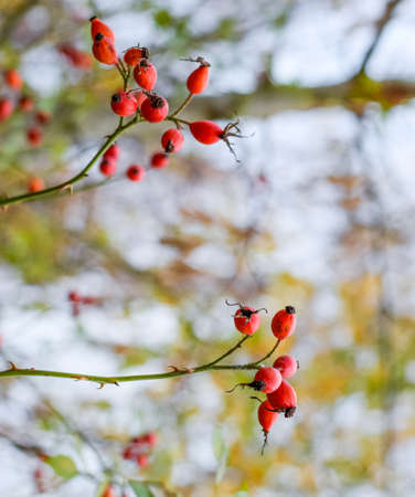 Hips bush with ripe berries. Berries of a dogrose on a bush. Fruits of wild roses. Thorny dogrose. Red rose hips. Red ripe briar berries, macro photo.