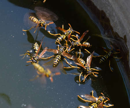 Wasps Polistes drink water. Wasps drink water from the pan, float on the surface of the water, flying over the water. Stock fotó