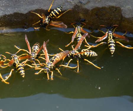 Wasps drink water from the pan, swim on the surface of the water, do not sink. 写真素材