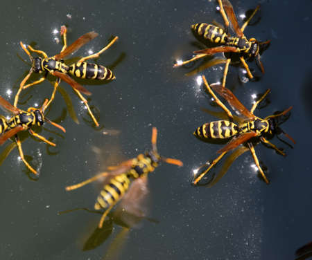 Wasps drink water from the pan, swim on the surface of the water, do not sink. Imagens