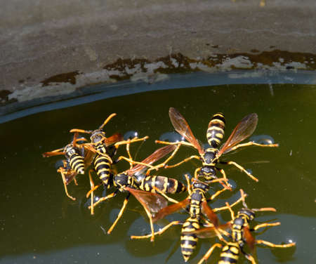 Wasps drink water from the pan, swim on the surface of the water, do not sink. Stock Photo