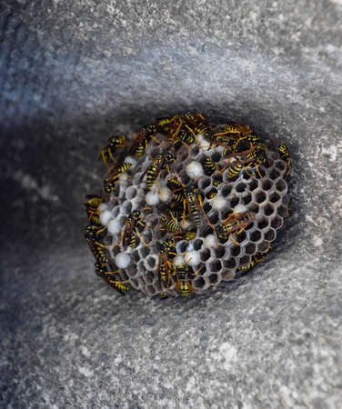 Wasps polist. Wasp nest with wasps sitting on it. The nest of a family of wasps which is taken a close-up. Stock Photo