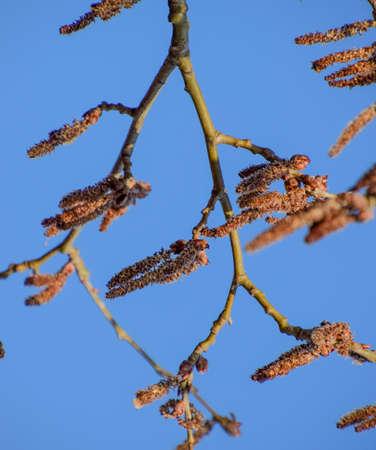 Blooming silver poplar. Silver poplar tree in spring. Poplar fluff from flowers - earrings. Stok Fotoğraf - 129487804