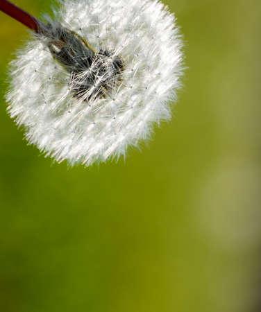 Ripened dandelion seeds. Fluffy dandelion. Dandelion in the meadow