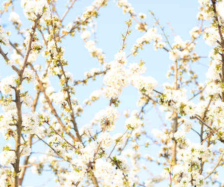 Prunus avium Flowering cherry. Cherry flowers on a tree branch. Standard-Bild - 129488586
