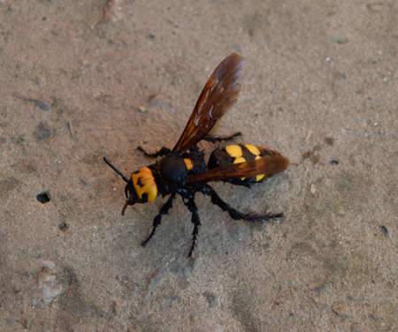 Megascolia maculata. The mammoth wasp. Wasp Scola giant on the concrete.