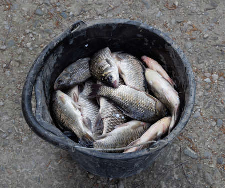 River fish in a plastic bucket. Fish catch. Carp and carp. Weed fish Banque d'images - 129269856