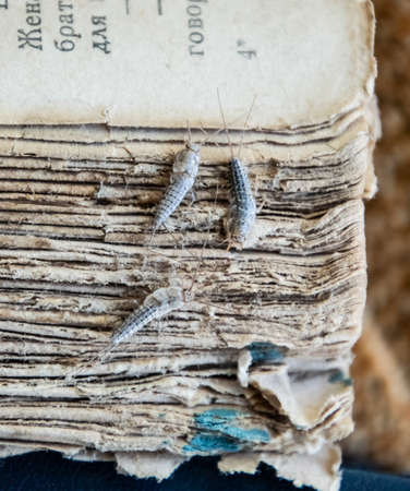 Silverfish three pieces on the torn cover of an old book. Insect feeding on paper - silverfish. Pest books and newspapers.