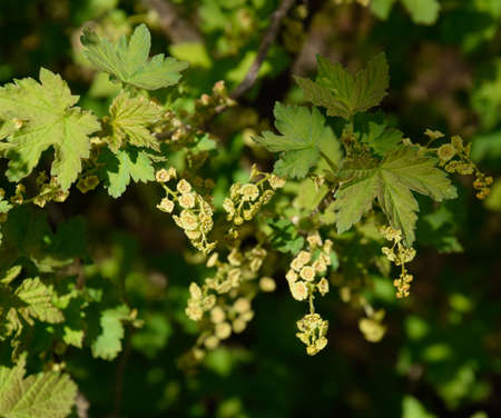 Flowers of red currant in spring on a stalk