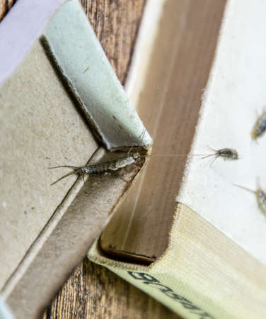 Insect feeding on paper - silverfish. Pest books and newspapers. silverfish in a matchbox. Stok Fotoğraf