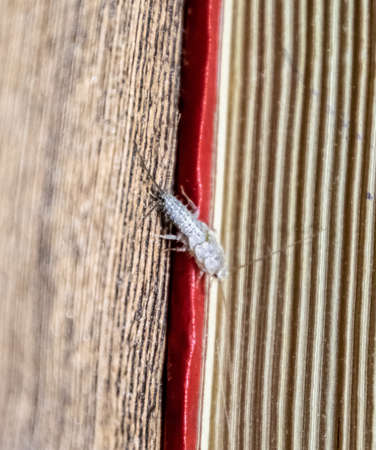 Insect feeding on paper - silverfish. Pest books and newspapers. Lepismatidae, Thermobia domestica.
