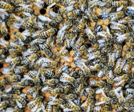 A dense cluster of swarms of bees in the nest. Working bees, drones and uterus in a swarm of bees. Honey bee. Accumulation of insects Stock Photo