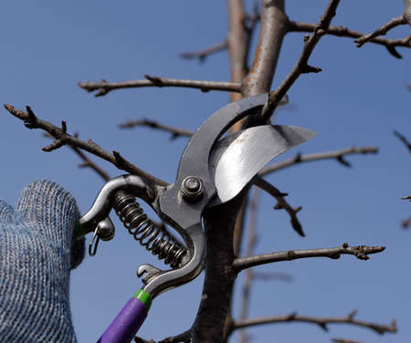 Pruning pear branches pruners. Trimming the tree with a cutter. Spring pruning of fruit trees. Reklamní fotografie