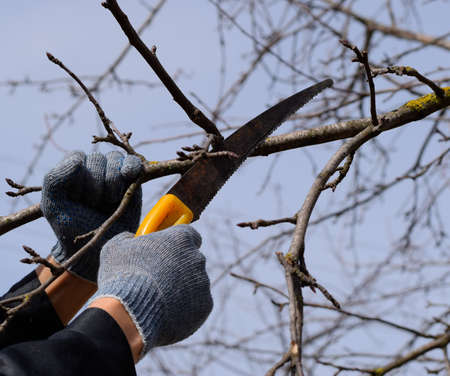 Cutting a tree branch with a hand garden saw. Pruning fruit trees in the garden.