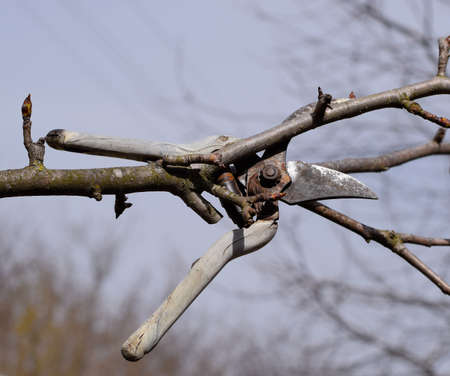 Secateurs hanged on a pear branch. Pruning pear branches pruners. Trimming the tree with a cutter. Spring pruning of fruit trees. Reklamní fotografie