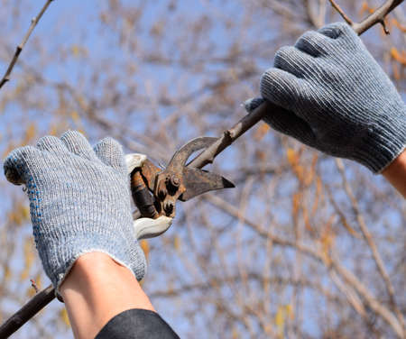 Pruning prunus pruning shears. Trimming the tree with a cutter. Spring pruning of fruit trees. Reklamní fotografie