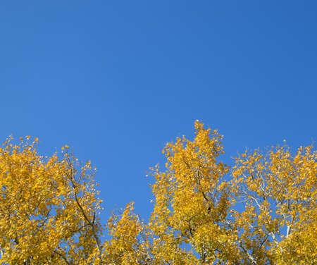 Silver poplar in autumn paint against the blue sky. Yellow Poplar Leaves Stockfoto