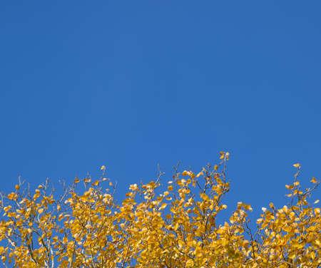 Silver poplar in autumn paint against the blue sky. Yellow Poplar Leaves Stock fotó