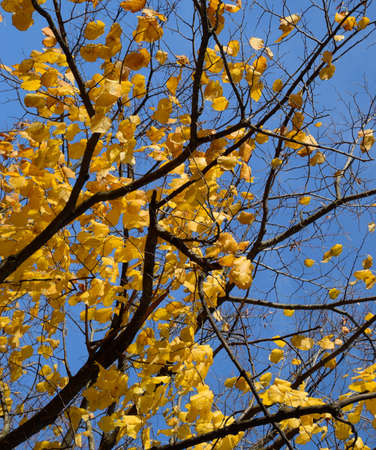 Yellow leaves of a linden. Yellowing leaves on the branches of a tree. Autumn background from leaves of a linden. Yellow autumn leaves.