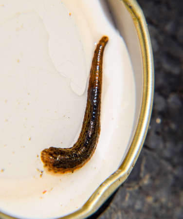 Leach on the lid of the jar. Bloodsucking animal. A subclass of ringworms from the belt-type class. Hirudotherapy with leeches. Giruda 写真素材