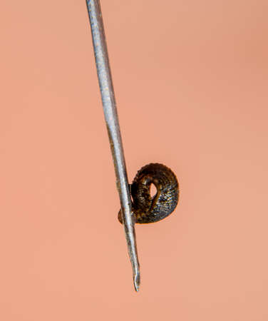 Leech on the tweezers. Bloodsucking animal. subclass of ringworms from the belt-type class. Hirudotherapy.