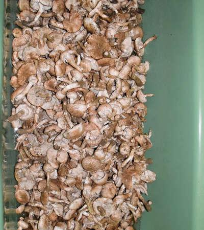Field champignons. Edible mushroom. Mushrooms in the bathroom. Mushroom washing in the bathroom.