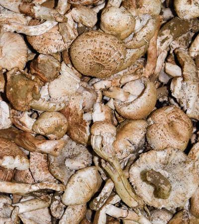 Field champignons. Edible mushroom. Mushrooms background texture. Dirty champignons