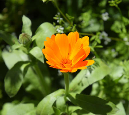 Marigold bloom in a bed. Orange flowers.