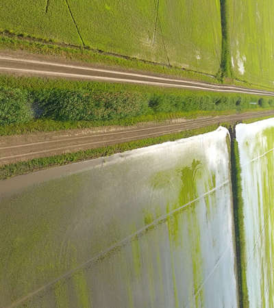 Growing rice on flooded fields. Ripe rice in the field, the beginning of harvesting. A birds eye view. Flooded rice paddies. Agronomic methods of growing rice in fields. Flooding the fields with water in which rice sown. Reklamní fotografie