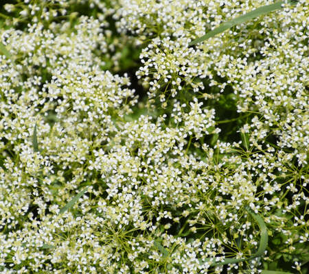 Lepidium a draba white flowers Lepidium draba Stockfoto