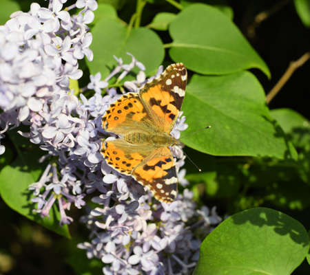 Butterfly Vanessa cardui on lilac flowers. Pollination blooming lilacs. Vanessa cardui Stockfoto