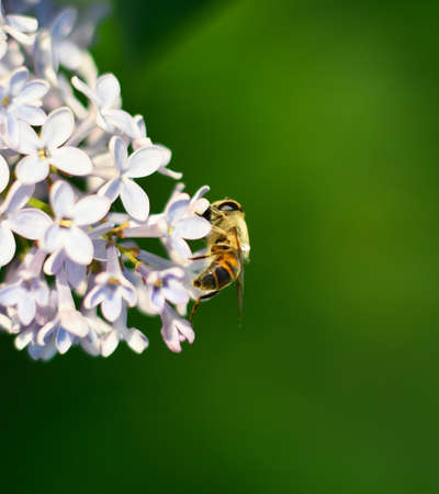 Flower fly on lilac flowers, lilac bloom.