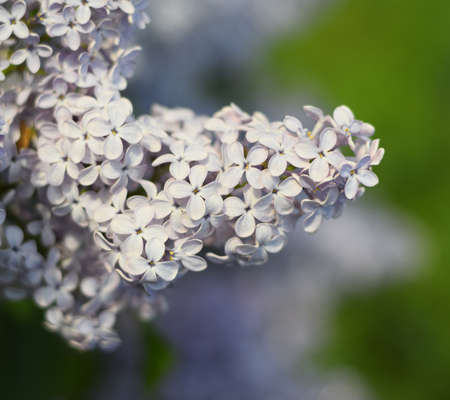 Flowers blooming lilac. Beautiful purple lilac flowers outdoors. Lilac flowers on the branches Archivio Fotografico - 129488473