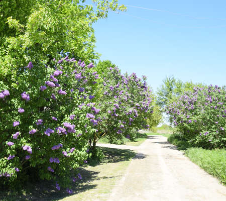 Lilac bloom at the road on the side of the road.