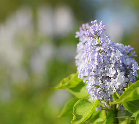 Flowers blooming lilac. Beautiful purple lilac flowers outdoors. Lilac flowers on the branches Stockfoto