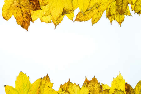 Autumn yellow maple leaves on a wooden background. copyspace of autumn leaves. Standard-Bild - 129488600