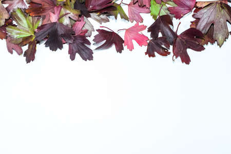 Autumn leaves of golden currant on a white background. copyspace of autumn leaves. Standard-Bild - 129488598