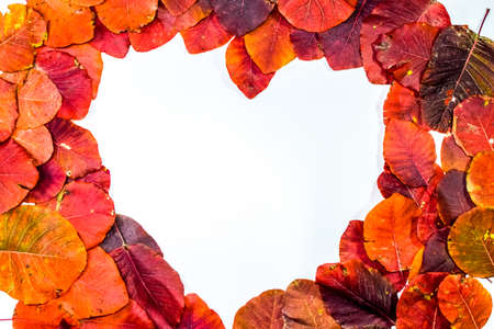Autumn red leaflets of cotinus coggygria on a white background in the shape of a heart. copyspace of autumn leaves. Standard-Bild - 129486887