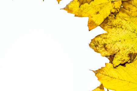 Autumn yellow maple leaves on a wooden background. copyspace of autumn leaves. Standard-Bild - 129486888