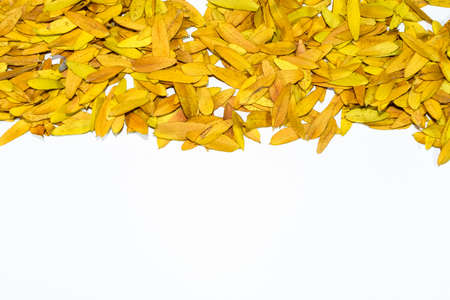 Gleditsia triacanthos, yellow leaves on a white background. Foto de archivo