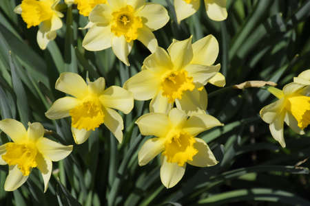 Flowering daffodils in the garden, yellow daffodil flowers